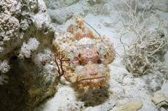 Tassled scorpionfish (scorpaenopsis oxycephala), red sea, egypt, Stock Photos