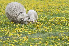 Sheep Ovis orientalis aries with lamb feeding in dandelion meadow Texel The Kuvituskuvat
