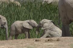 African Bush Elephants Loxodonta africana young animals at play Addo Elephant Stock Photos