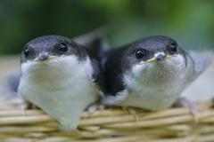 Young hand raised house martins Delichon urbicum Emsland Lower Saxony Germany Stock Photos