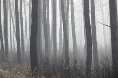 Stock Photo of Dense fog in a pine forest Scots Pine Pinus sylvestris near Nicklheim Bavaria