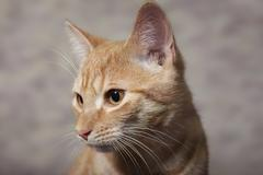 Stock Photo of Red tabby domestic cat circa 6 months portrait