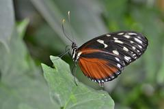 Stock Photo of Five spotted Longwing Heliconius hecalesia native to Colombia butterfly house