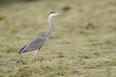 Grey Heron Ardea cinerea foraging on a cut meadow North Rhine Westphalia Stock Photos