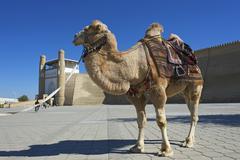 Saddled camel in front of the Ark fortress Bukhara Uzbekistan Asia Stock Photos