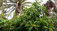 Spain The Canary Islands Tenerife 014 rubber tree and palm trees against sky Stock Footage
