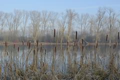 Cattail or Bulrush Typha latifolia meander of the Rhine near Frost Xanten Lower - stock photo
