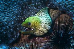 Stock Photo of Undulated Moray Gymnothorax undulatus Gulf of Oman Oman Asia