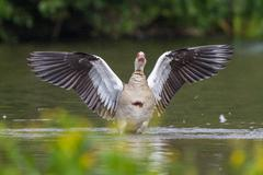Stock Photo of Egyptian Goose Alopochen aegyptiacus with spread wings North Hesse Hesse