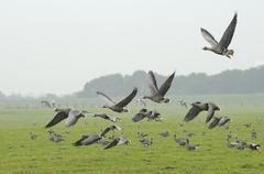 Greater white fronted Geese flying up Anser albifrons Bislicher Insel Wesel Stock Photos
