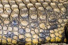 Stock Photo of Nile Crocodile Crocodylus niloticus skin detail iSimangaliso Wetland Park St