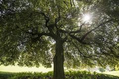 Very old Holm Oak Quercus ilex gardens of Villa Melzi Bellagio Como Province Stock Photos