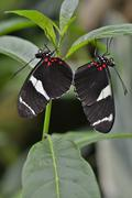 Stock Photo of Wallaces Longwing Heliconius wallacei native to Ecuador butterfly house