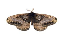 Widenmanns Brahmin Moth Dactyloceras widenmanni native to Ethiopia Stock Photos