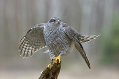Northern Goshawk Accipiter gentilis adult female shortly before take off Stock Photos