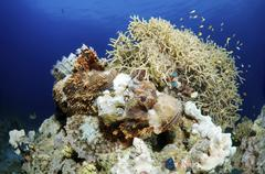 Stock Photo of tassled scorpionfish (scorpaenopsis oxycephala), red sea, egypt,