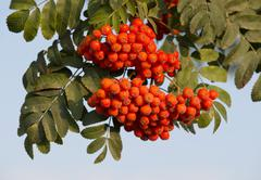 Stock Photo of Rowan Sorbus aucuparia fruits and leaves Thuringia Germany Europe