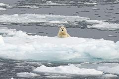 Polar Bear Ursus maritimus on pack ice Spitsbergen Svalbard archipelago Stock Photos