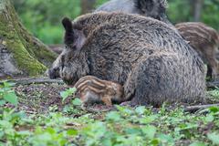 Stock Photo of Wild Boar Sus scrofa sow suckling piglet North Hesse Hesse Germany Europe