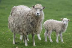 Stock Photo of Ewe with lamb Mykines Utoyggjar Outer Islands Faroe Islands Denmark Europe