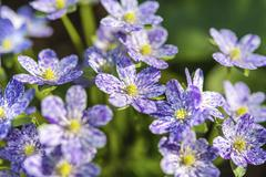 Purple white speckled Hepatica or Liverwort Hepatica cultivar close up Stock Photos
