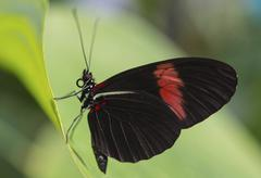Stock Photo of Postman Butterfly or Common Postman Heliconius melpomene butterfly house