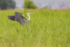 Grey Heron Ardea cinerea landing in the reeds shooing away a Reed Bunting - stock photo