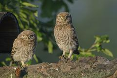 Little Owls Athene noctua young Emsland Lower Saxony Germany Europe - stock photo