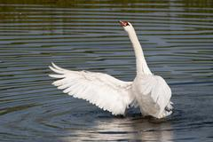Stock Photo of Mute Swan Cygnus olor spreading its wings North Hesse Hesse Germany Europe