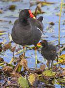 common moorhen (gallinula chloropus) with a chick, brazos bend state park, ne - stock photo