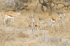 Stock Photo of Small herd of Springboks Antidorcas marsupialis Etosha National Park Namibia
