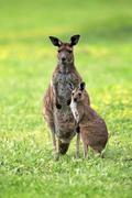 Kangaroo Island Kangaroos Macropus fuliginosus fuliginosus female with joey Kuvituskuvat