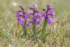 Green winged Orchid or Green veined Orchid Orchis morio inflorescences Hesse Stock Photos