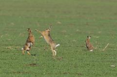 Two European Hares Lepus europaeus fighting on a field a third one next to it Stock Photos