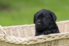 labrador retriever welpe - stock photo