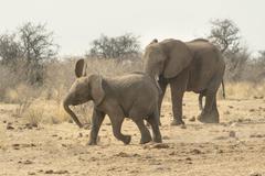 African Elephant Loxodonta africana adult and young Tsumcor water hole Etosha Stock Photos