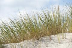 European Marram Grass or European Beachgrass Ammophila arenaria Stock Photos