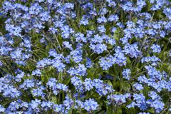 Stock Photo of Wood forget me not Myosotis sylvatica Blue Sylva Baden Wurttemberg Germany