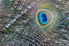 Indian Peafowl or Blue Peafowl Pavo cristatus detail of a feather Slovakia - stock photo