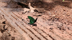 Butterflies eating salty soil and pee on the ground - stock footage