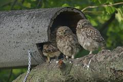 Little Owls Athene noctua young Emsland Lower Saxony Germany Europe Stock Photos
