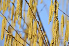 Catkins on a Common Hazel shrub Corylus avellana Stock Photos