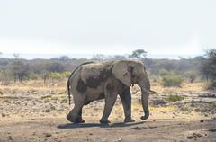 African Bush Elephant Loxodonta africana Koinachas waterhole Etosha National - stock photo