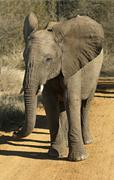 Bad tempered adolescent African Elephant Loxodonta africana with flapping ears Stock Photos