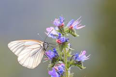 Black veined White Butterfly Aporia crataegi Tyrolean Oberland Tyrol Austria - stock photo