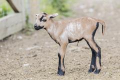 Cameroon Sheep Wild Sheep Ovis orientalis lamb captive Seewinkel Burgenland Kuvituskuvat