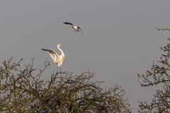 Black headed Gull Larus ridibundus attacking Egret Ardea alba on tree Stock Photos