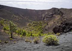 Canary Island pines Pinus canariensis growing in the crater of the San Antonio Stock Photos