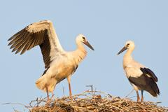 Young white storks Ciconia ciconia flying attempts at the nest Hesse Germany - stock photo