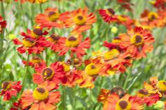 motion blur with common sneezeweed, helenium autumnale, red jewel, uk - stock photo